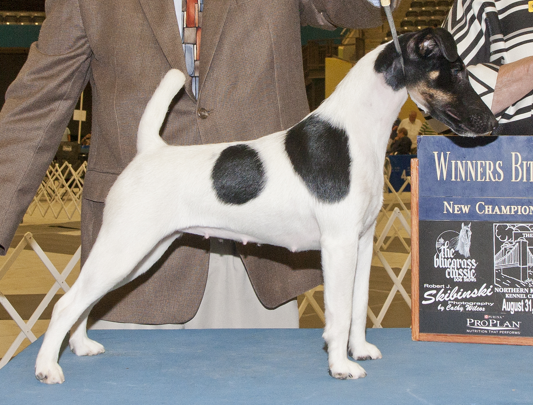 My first homebred Smooth Fox Terrier Champion.