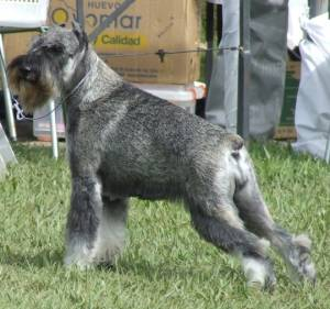 Kintxa, Standard Schnauzer, owned by Manuel Itriago and Carlos Pineda; bred by Alfonso Capelo