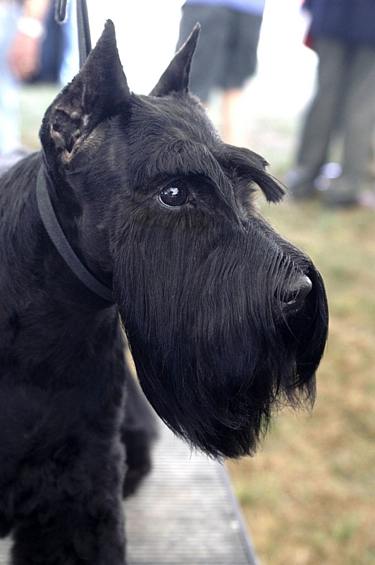 Bell is handled by M. Itriago, and was bred and is owned by Sharon Hamilton, Dreams Schnauzers.